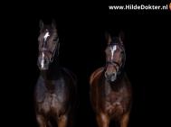 Hilde Dokter Paardenfotografie - Blackfoto - 10