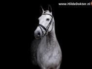 Hilde-Dokter-Paardenfotografie-Blackfoto-20