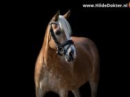Hilde Dokter Paardenfotografie - Blackfoto - 9